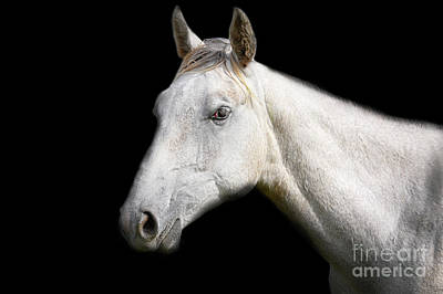 Photograph - White Horse On Black Background by Jan Brons