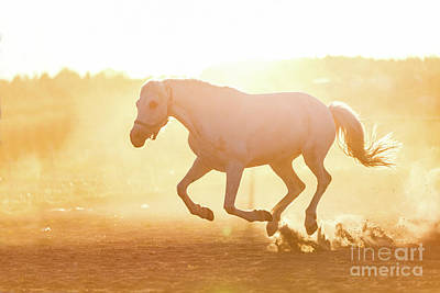 Photograph - White Horse Running On The Sand In The Sunset. by Michal Bednarek