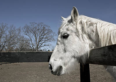 Photograph - White Horse  by  Tina McGinley