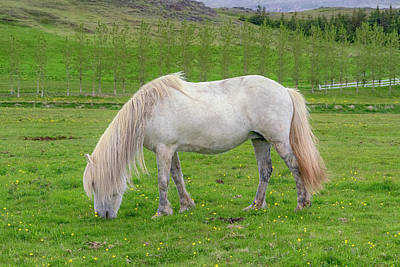 Photograph - White Horse by Tom Singleton