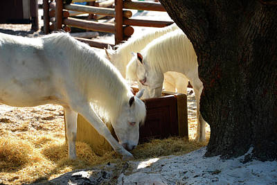Art Print featuring the photograph White Horses Feeding by David Lee Thompson