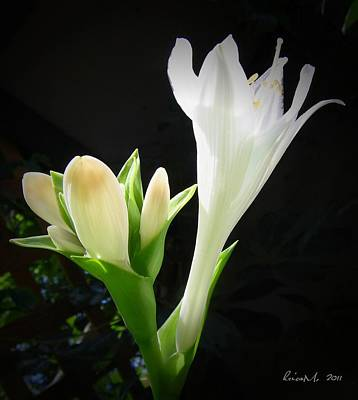 Art Print featuring the photograph White Hostas Blooming 7 by Maciek Froncisz