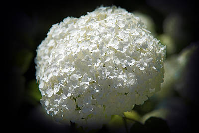 Photograph - White Hydrangea by Milena Ilieva