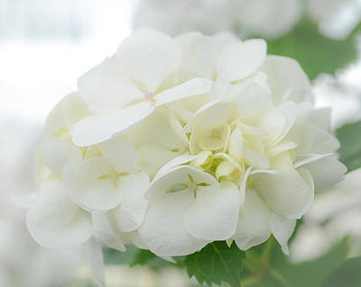 Photograph - White Hydrangea by Ronda Broatch