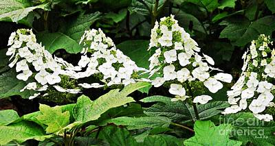 Photograph - White Hydrangea by Sarah Loft