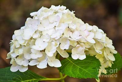 All You Need Is Love - White Hydrangeas by Mary Ann Artz