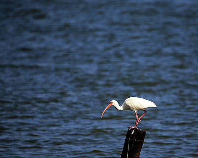 Photograph - White Ibis 2 by Judy Vincent