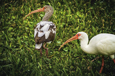 Photograph - White Ibis - Adult And Juvenile by Belinda Greb