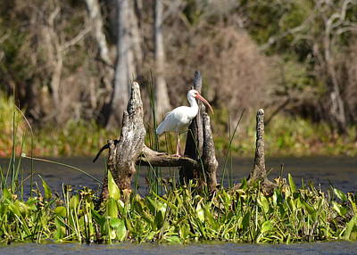 Photograph - White Ibis At Center Stage by Carla Parris