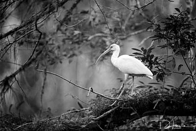 Photograph - White Ibis Bw by David A Lane