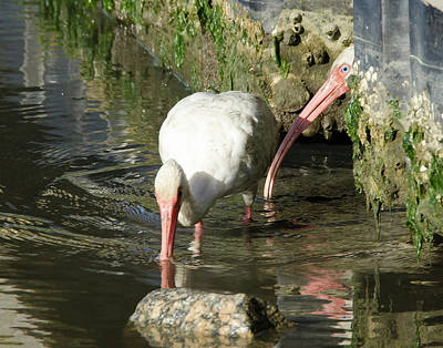 White Ibis Couple Art Print by George Randy Bass