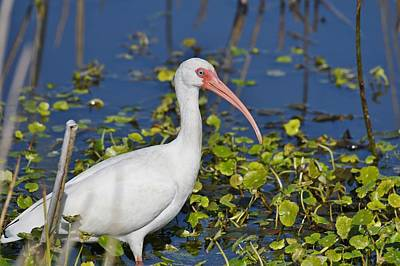 Photograph - White Ibis by David Campione