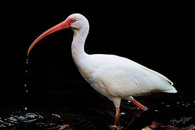 White Ibis Dripping Art Print