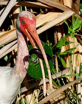 Photograph - White Ibis Eating Crayfish by Ira Runyan