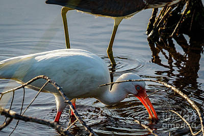 Photograph - White Ibis Eating by Les Greenwood
