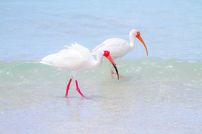 Sea Photograph - White Ibis Feeding 4 By Darrell Hutto by J Darrell Hutto