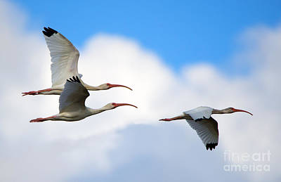 Ibis Photograph - White Ibis Flock by Mike Dawson