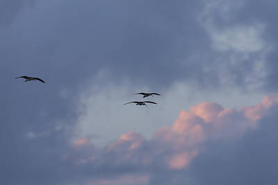 Photograph - White Ibis In Flight At Sunset by David Watkins