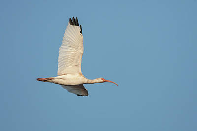 Watercolor Typographic Countries - White Ibis In Flight by Ronnie Maum