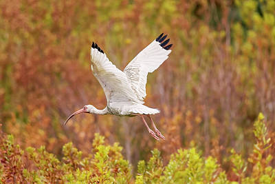 White Ibis In Hilton Head Island Art Print
