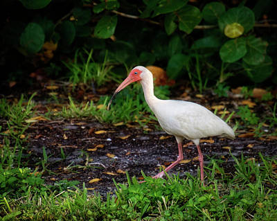 Photograph - White Ibis In The Grass by Chrystal Mimbs