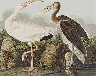 Ibis Painting - White Ibis by John James Audubon