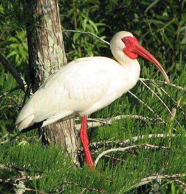 Photograph - White Ibis by John Kearns