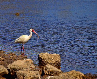 Photograph - White Ibis by Judy Vincent