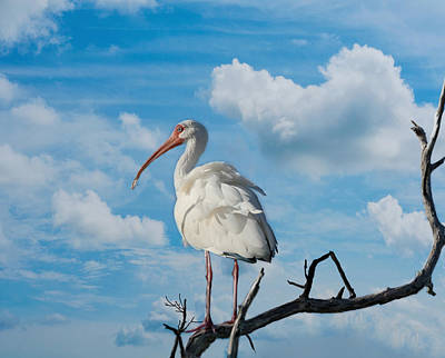 Photograph - White Ibis by Kim Hojnacki