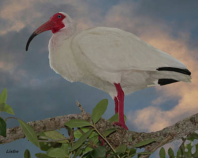 Photograph - White Ibis by Larry Linton