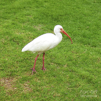 Photograph - White Ibis by Louise Magno