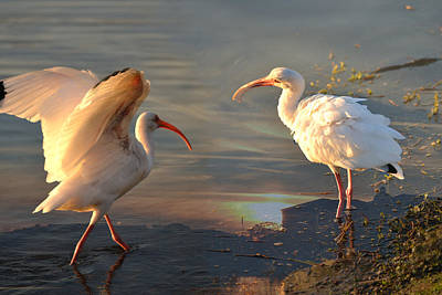 White Ibis - Ready For The Roost Art Print