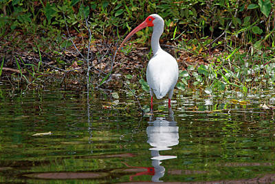 Photograph - White Ibis Reflected by Sally Weigand