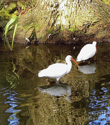 Photograph - White Ibis Reflections by D Hackett