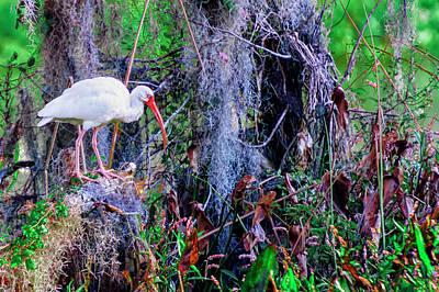 Shorebird Photograph - White Ibis by Rick Higgins