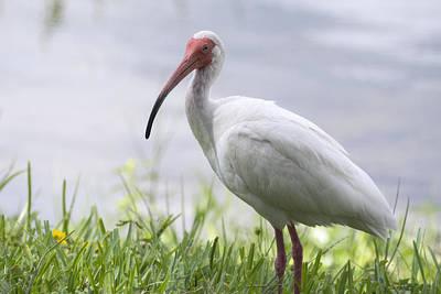 Ibis Photograph - White Ibis  by Saija  Lehtonen