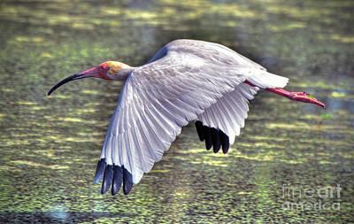 Photograph - White Ibis by Savannah Gibbs