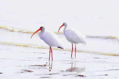 Photograph - White Ibis by Scott Cameron