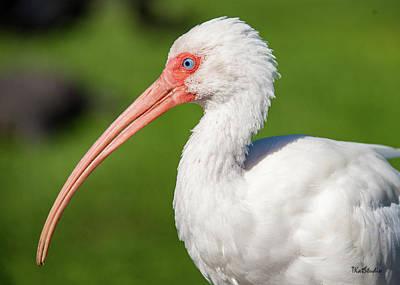 Photograph - White Ibis by Tim Kathka