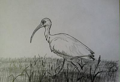 Drawing - White Ibis by Tony Clark