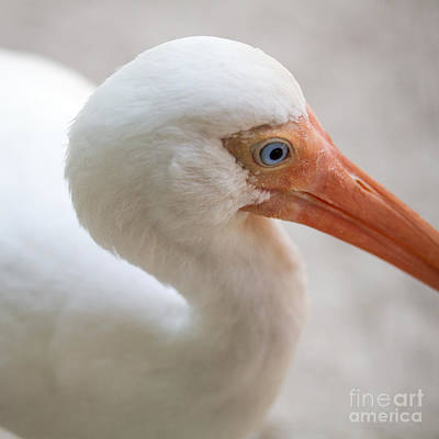 Ibis Photograph - White Ibis Triptych 3 By Darrell Hutto by J Darrell Hutto