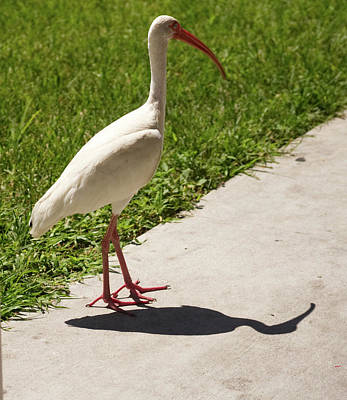 Photograph - White Ibis Walking Down The Street by Vincent Billotto