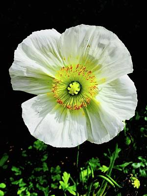 Photograph - White Iceland Poppy by Russell Keating