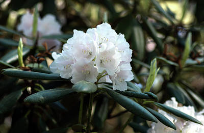 Photograph - White Inflorence Of  Rhododendron Plant by Jarmo Honkanen