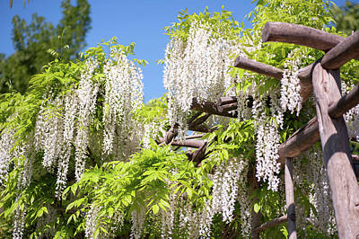 Photograph - White Inflorescence Of Flowering Wisteria by Jenny Rainbow