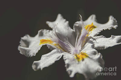 Photograph - White Iris 4 by Andrea Anderegg