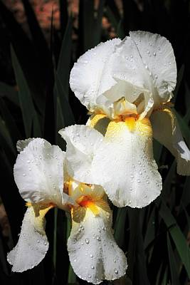 Photograph - White Iris After The Rain by Sheila Brown