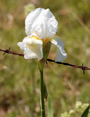 Photograph - White Iris And Barbed Wire by Sheila Brown