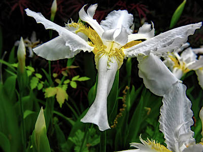 Photograph - White Iris by Elijah Knight