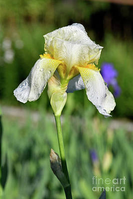 Photograph - White Iris Flower With Dewdrops by George Atsametakis